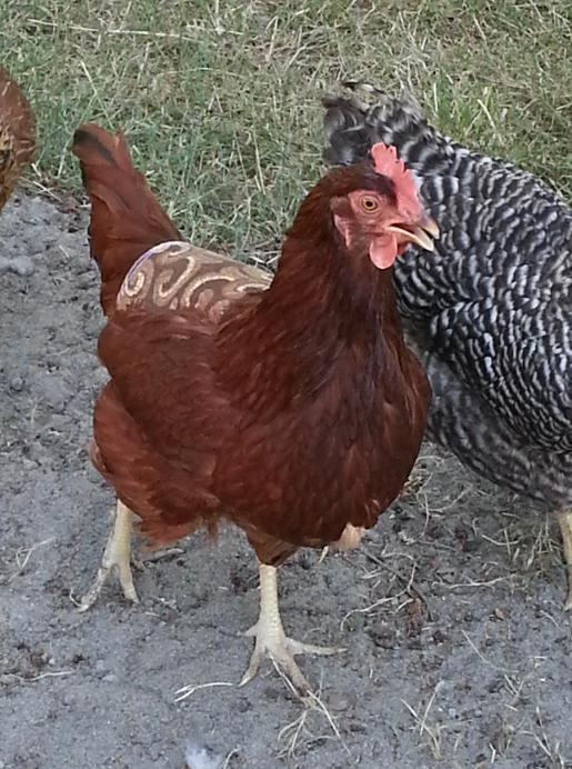 ChickenApron-BrownPrint